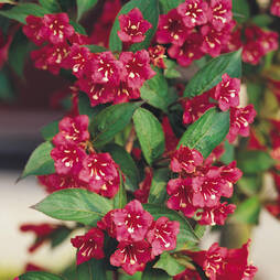 Weigela 'Red Prince'