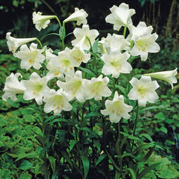 Lily 'Trumpet White'