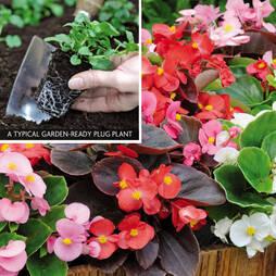 Begonia 'Organdy' (Garden ready)