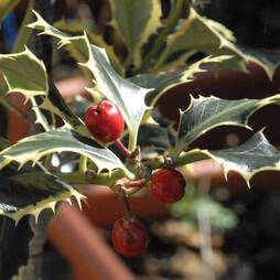 Holly 'Argentea Marginata' (Standard Tree)