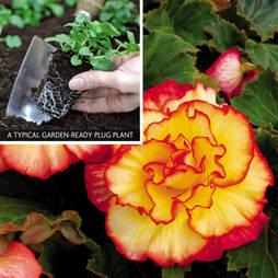 Begonia 'Majestic' (Garden Ready)