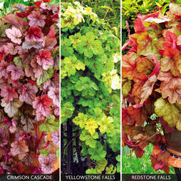 Heucherella Trailing Mix