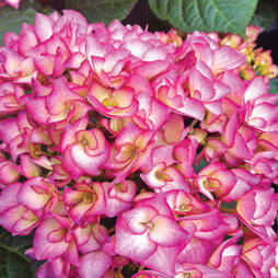 Hydrangea macrophylla 'Swinging Sixties'