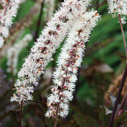 Actaea simplex 'Black Negligee' (Atropurpurea Group)