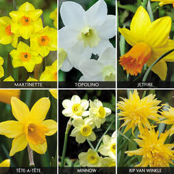 Daffodil & Narcissus 'Mini Collection'