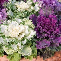 Ornamental Kale 'Northern Lights Fringed Mix'