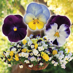 Pansy 'Cool Wave Trio'