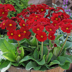 Polyanthus 'Stella Regal Red'