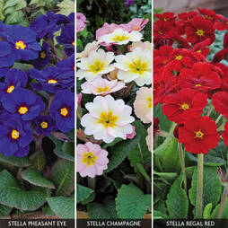Polyanthus 'Stella Collection'