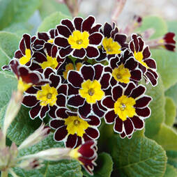 Polyanthus 'Victoriana Gold Lace'