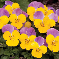Viola 'Sorbet Yellow Pink Wing'