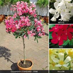Oleander Standards