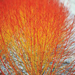 Cornus sanguinea 'Winter Flame'