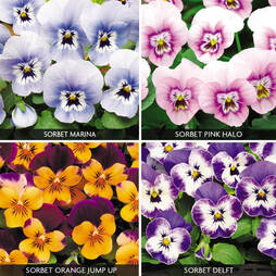 Viola 'Sorbet Collection'