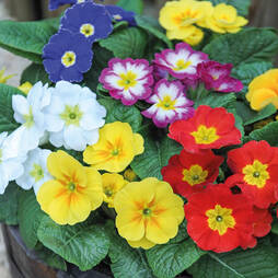 Primrose 'Mega Mixed'