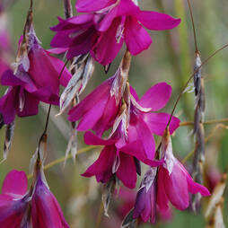 Dierama 'Blackberry Bells'