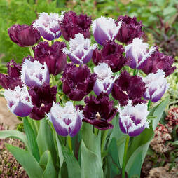 Tulip 'Black Cherry frost'