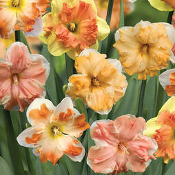Daffodil 'Rainbow Butterflies'