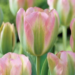 Tulip 'Greenland'