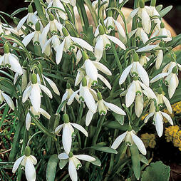 Snowdrop (Single Flowered)