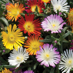 Delosperma 'Wheels of Wonder'