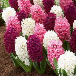 Hyacinth 'Berry Crush'