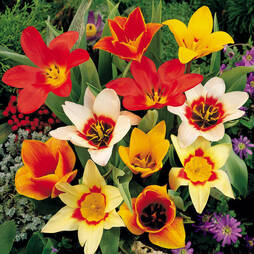 Tulip 'Magical Carpet'