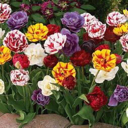 Tulip 'Colour Carpet'