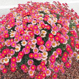 Argyranthemum 'Aramis Fire'