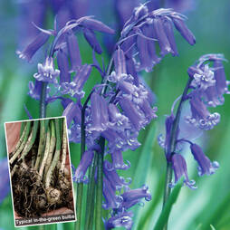 English Bluebells (in the green)
