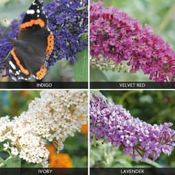 Buddleja 'Buzz® Collection'