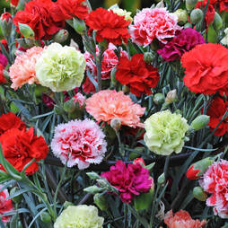 Carnation 'Garden-To-Vase Mix'