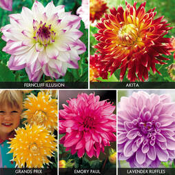 Dahlia 'Lavish Giants Collection'