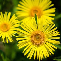 Doronicum caucasicum 'Little Leo'