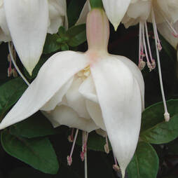 Fuchsia 'White King'