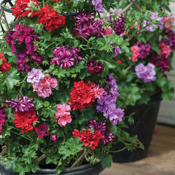Geranium 'Global Sunrise' Collection