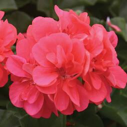 Geranium 'Apricot'