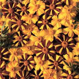 Marigold 'Jesters Mix™'