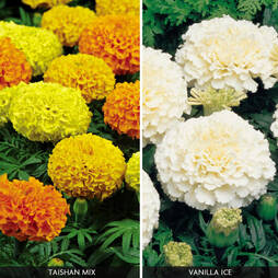 Marigold 'Fire And Ice Collection'