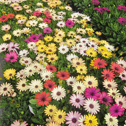 Osteospermum 'Grand Canyon Mixed'