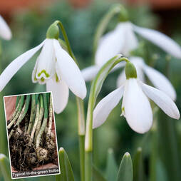 Single Snowdrops in the Green + Double Snowdrops FREE