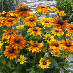 Rudbeckia 'Summerina Mixed'