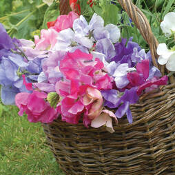Sweet Pea 'Sweet Dreams Mixed'