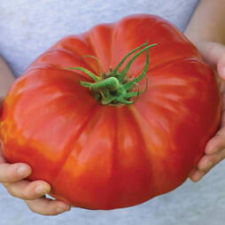 Tomato 'Gigantomo'® F1 Hybrid (Seeds)