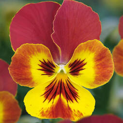Viola 'Volante Yellow Red Wing'