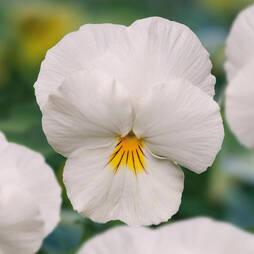Viola 'Volante White'