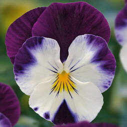 Viola 'Volante Purple Face'