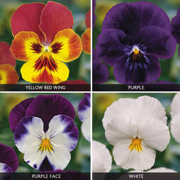 Viola 'Volante Collection'