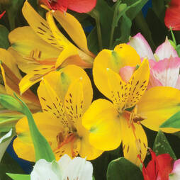 Alstroemeria 'Canary Yellow'