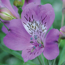 Alstroemeria 'Blue Diamond'